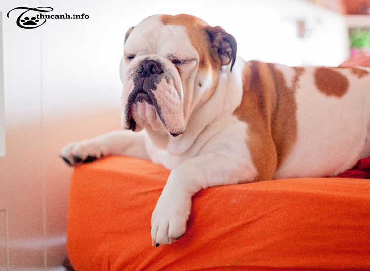 điều kiện sống chó bulldog