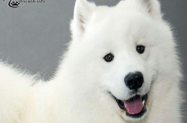 đặc điểm chó samoyed