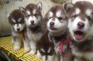 giá chó alaska