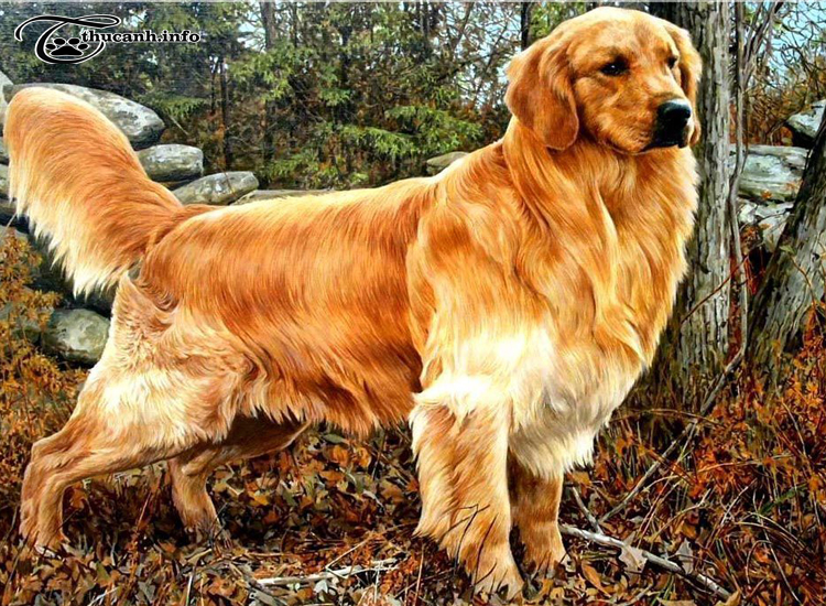 hình dáng chó golden retriever