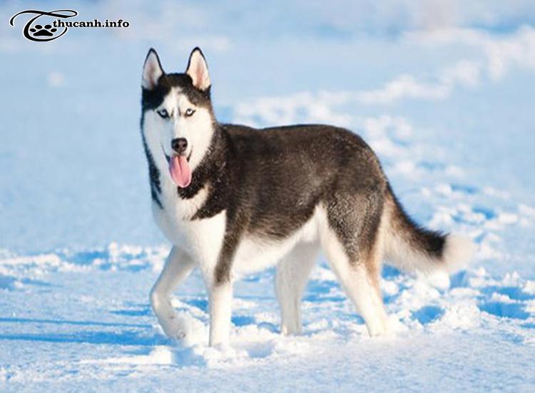 hình dáng chó husky
