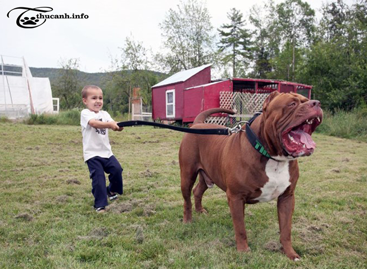 hình dáng chó pitbull