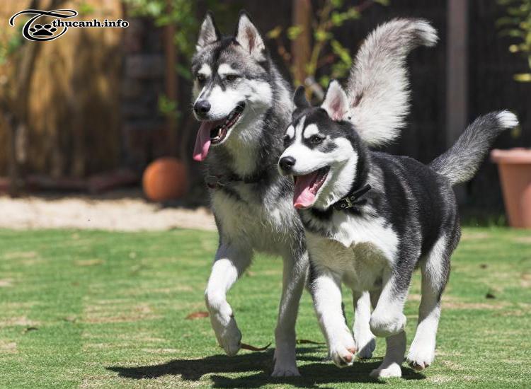 tập thể dục cho chó husky