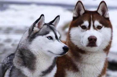 tính cách chó husky