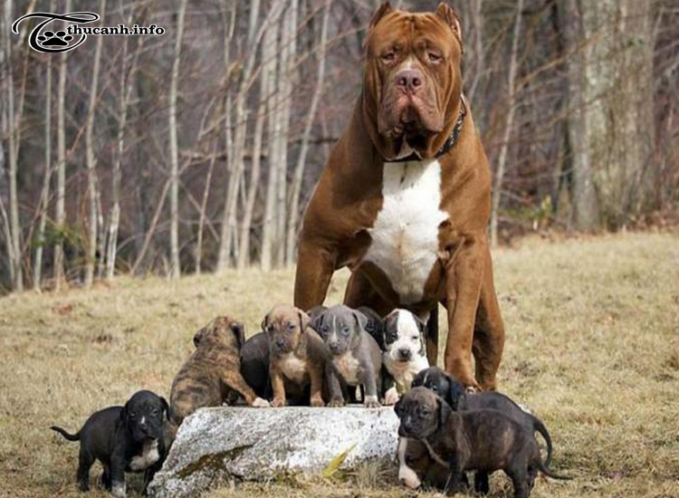 tính cách chó pitbull