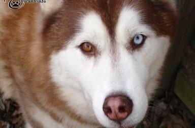 bệnh về mắt ở chó