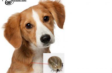 bọ chét ký sinh trên chó