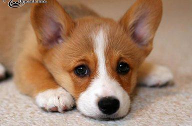 bệnh về chó Corgi
