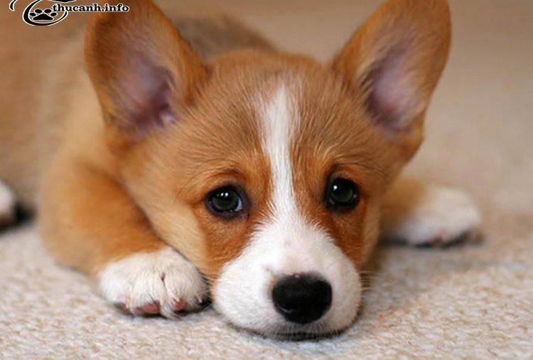 Tìm hiểu về những bệnh chó Corgi hay gặp phải