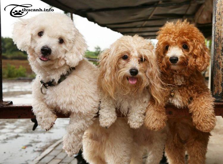 ưu nhược điểm của chó poodle